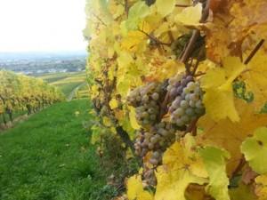 Weinlese im Rheingau